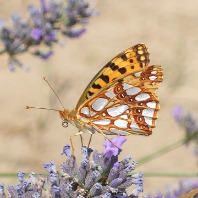 Butterfly on a lavender